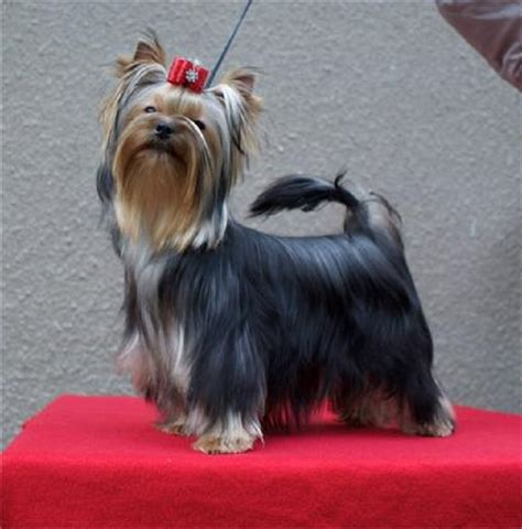 show me a picture of a yorkie yorkies terriers yorkie breeder nc carolina terrier