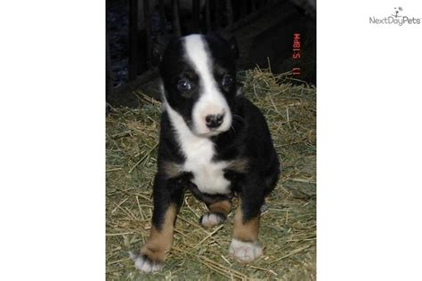 mcnab puppies for sale mcnab puppy for sale near visalia tulare california 1b4fc2aa 58c1
