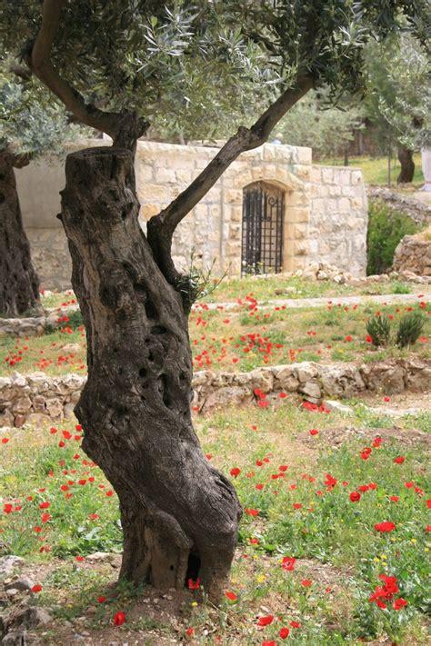 Judean Gardens by Garden Of Gethsemane Holy Land