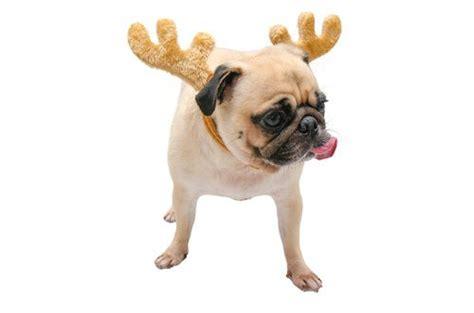 reindeer pug this week in sleep medicine december 19 2016