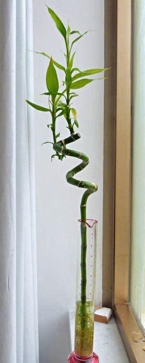 bamboo in vaso lucky bamboo dracaena sanderiana coltivazione e cura