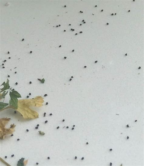 bed bug droppings bug poop identification pictures to pin on pinterest pinsdaddy