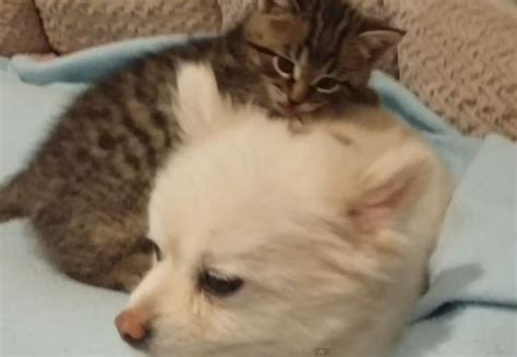 pomeranian with cats rescued kitten pomeranian with cats