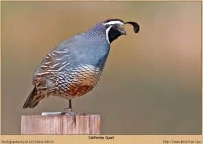 California Stats Gavilan California State Bird