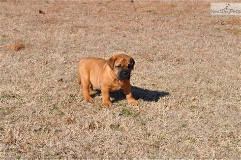 bullmastiff puppies near me bullmastiff puppy for sale near tulsa oklahoma 7505c5c6 cbf1