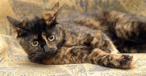 30 Things You Never Knew About The Tortoiseshell Cat