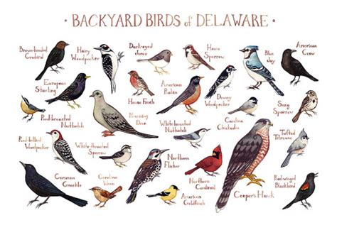 backyard birds of virginia delaware backyard birds field guide art print watercolor