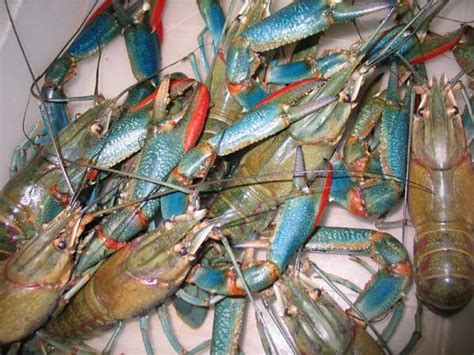 Pakan Udang Lobster Alami budidaya lobster air tawar aquaculture