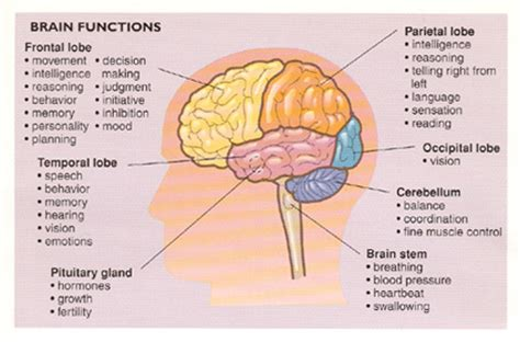 sections of the brain and what they do benign brain tumors