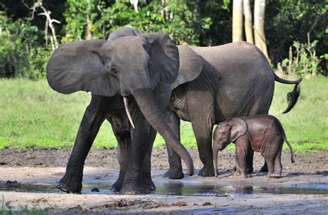 african elephant facts african elephants facts driverlayer search engine