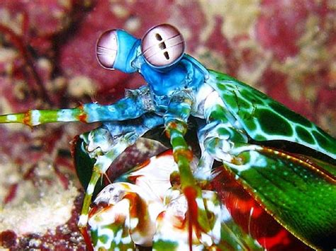 mantis shrimp colors the jumbo prize for color vision goes to the mantis