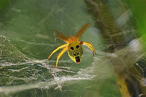spider with yellow pattern on back spider sports shocked face on its back daily star