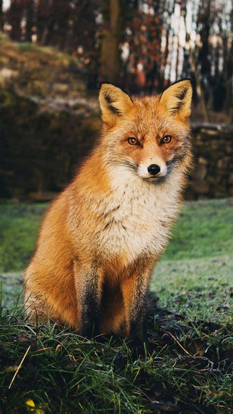 fox iphone wallpaper idrop news