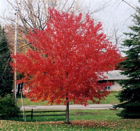 i plant a maple tree arbor omaha arbor