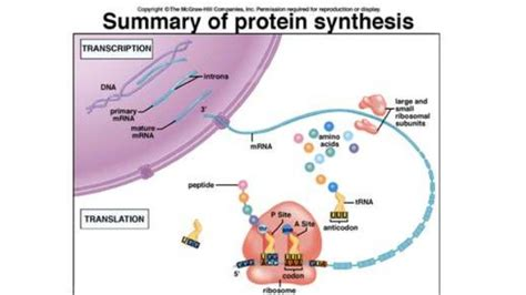 protein biology biology unit 6 notes rna protein synthesis