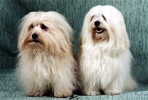 puppyfind havanese havanese description breeds picture