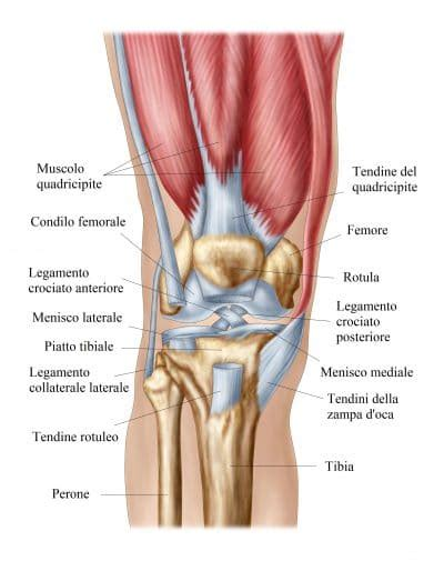 dolore al ginocchio interno anatomia ginocchio menisco anteriore posteriore