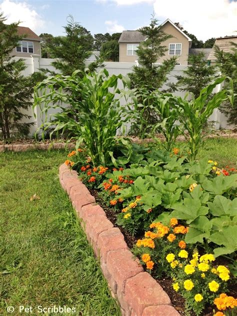 marigolds in the vegetable garden a six week update