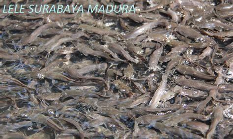 Pakan Bibit Ikan Lele Sangkuriang lele surabaya madura harga pakan ikan lele suramadu per