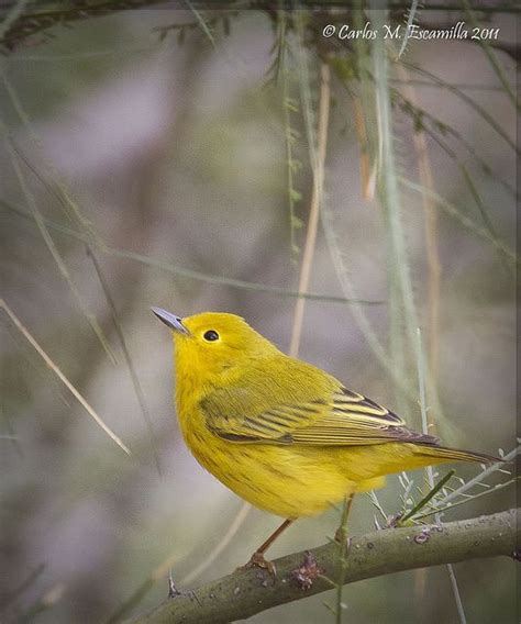 yellow birdie animals pinterest
