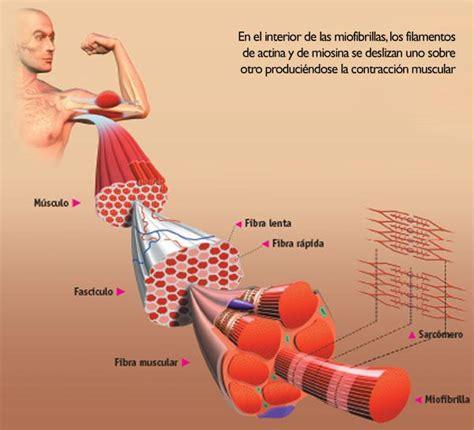 que son imagenes jpg y pdf tipos de fibras musculares y su relaci 243 n con el deporte