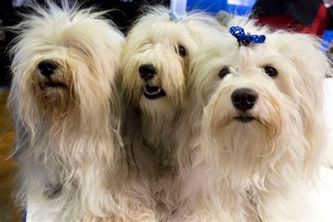 most popular breeds 2016 american kennel club s most popular breeds of 2016 newsday