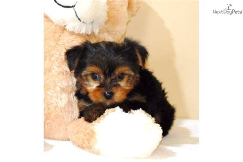 wayne puppies meet lil wayne a terrier yorkie puppy for sale for 450 teacup lil