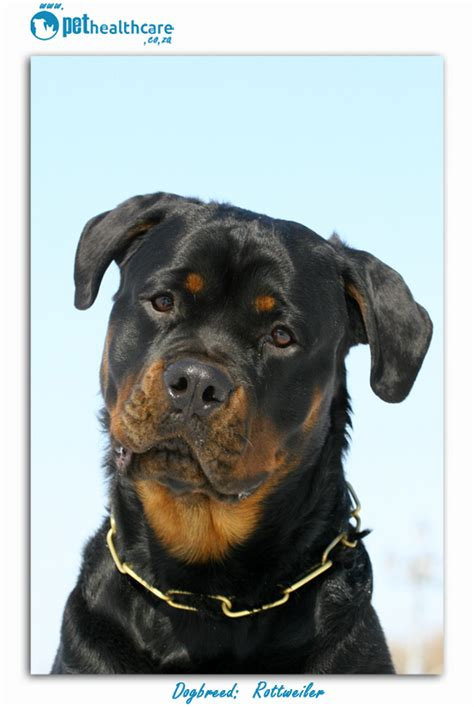 do rottweilers shed a lot top breeds in south africa rottweiler pethealthcare co zatop breeds in