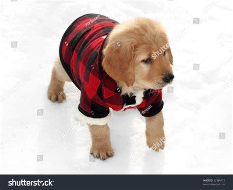 golden retriever coat stages adorable golden retriever puppy wearing plaid stock photo
