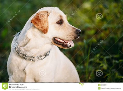 my golden retriever puppy bites all the time labrador on grass royalty free stock photography