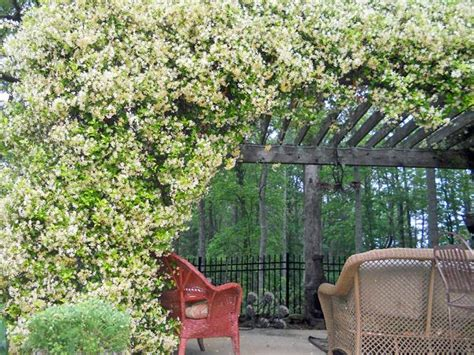 19 Best Pergola Plants Climbing Plants For Pergolas And Pergola Plants For Shade