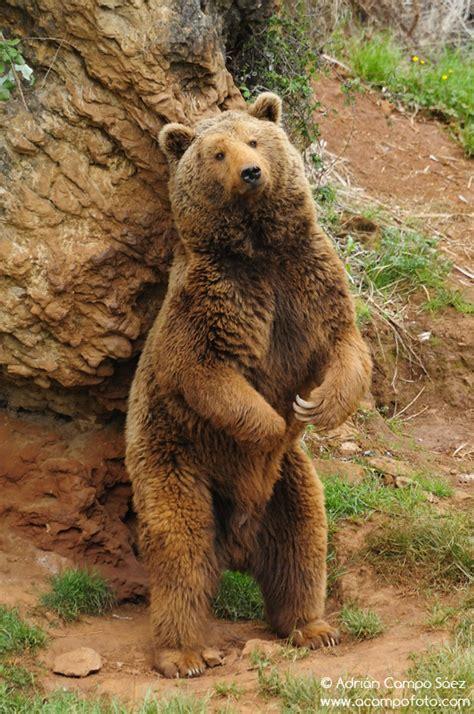 oso pardo oso pardo oso pardo ursus arctos en el parque de la naturaleza de cab 225 rceno cantabria spain travel