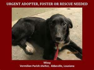 middle tn golden retriever rescue 277 best army of animals images on