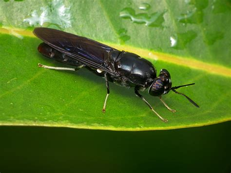black soldier fly file american soldier fly hermetia illucens jpg