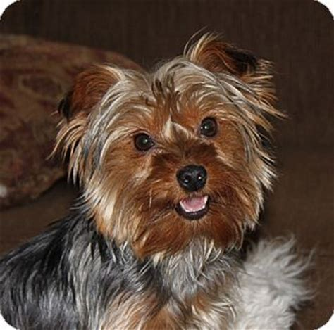 yorkie rescue indiana serenity adopted puppy westfield in yorkie terrier