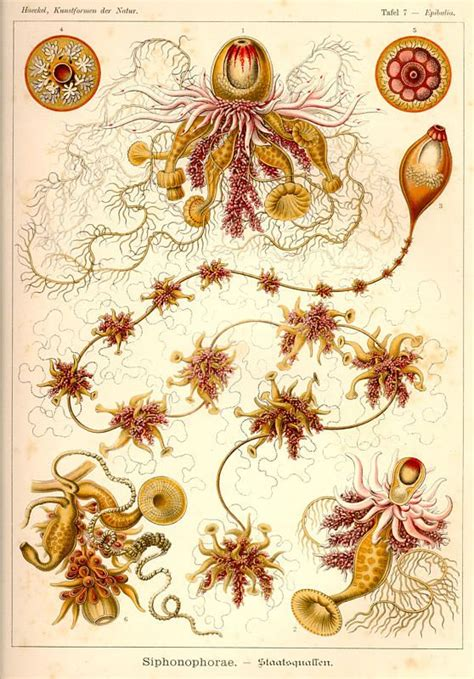 libro art forms from the 25 best ideas about ernst haeckel on ernst haeckel art coral and fish illustration