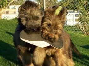 briard dogs briard info temperament care puppies pictures