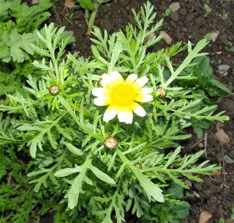 raw edible plants edible chrysanthemum chrysanthemum coronarium