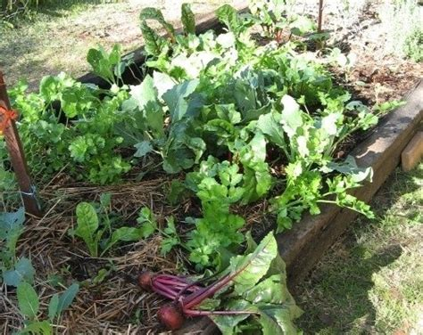 Very Easy No Dig Vegetable Garden Gardening Pinterest No Dig Vegetable Gardening