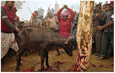 Ts Jagal festival pembunuhan lembu di nepal paling kejam