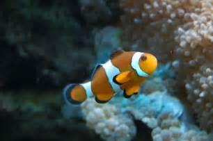 la chachipedia el pez payaso apexwallpaperscom el pez payaso caracter 237 sticas h 225 bitat alimentaci 243 n