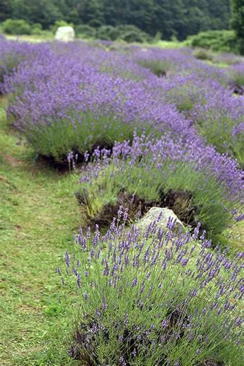 lavender maze health naturally lavender labyrinth