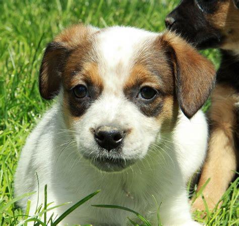 puppies for sale ontario boston bulldog terrier cross ontario dogs puppies for sale