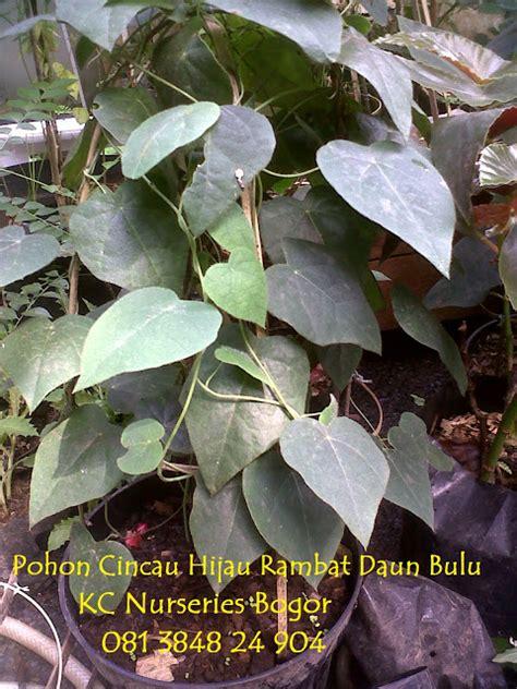 Jual Bibit Alpukat Bogor kc nurseries bogor jual bibit tanaman cincau hijau dan cincau hitam