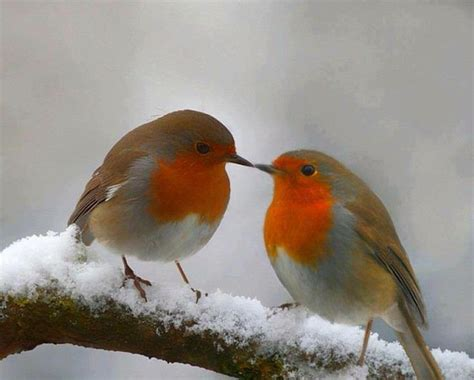 robin red breasts feathered friends pinterest