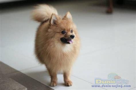 Harga Pompom by Dunia Anjing Jual Anjing Pomeranian Mini Pom Jantan