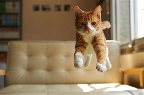 How To Stop A Cat From Jumping On Furniture by Jumping Cats At Play Look Like Ninjas