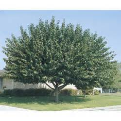 Bathroom Hardware Store Shop 3 25 Gallon Fruitless Mulberry Shade Tree L3600 At
