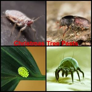 pests in real christmas trees debugged