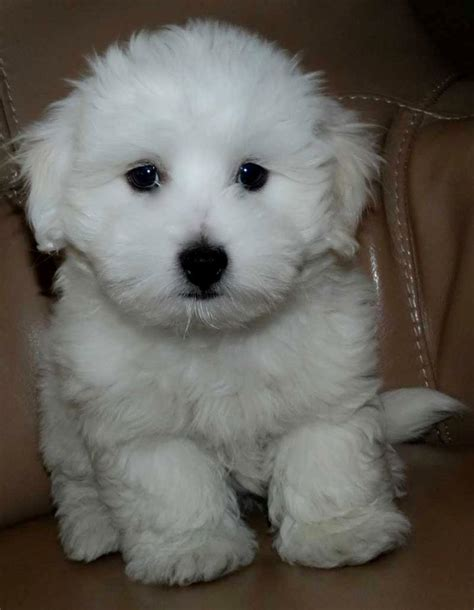 teddybear puppies mini teddy puppies puppies puppy